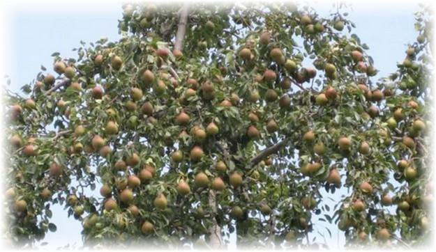 дерево груши просто мария