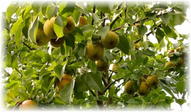 дерево груши северянка