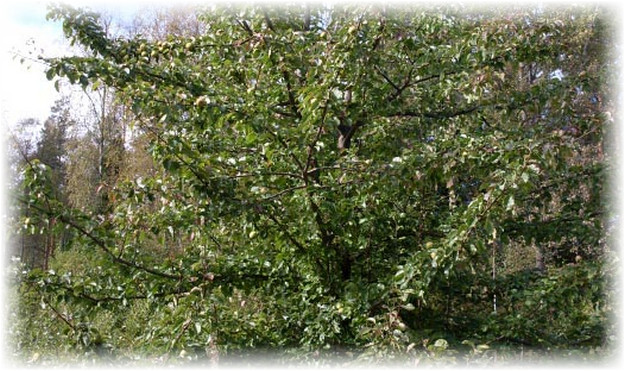 дерево с грушами