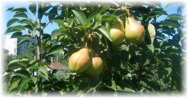 дерево с плодами груши