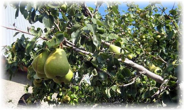дерево с плодами груши кюре