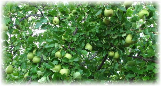 грушевое дерево с зелеными грушами