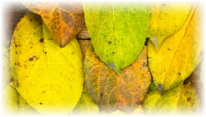 грушевые желтые листья