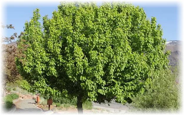 грушевое зеленое дерево