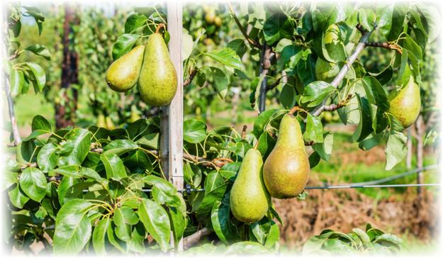 листья и плоды груши