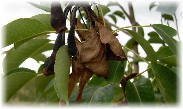 погибшие листья груши
