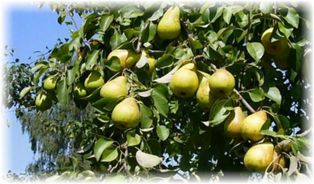 вид дерева ноябрьской груши