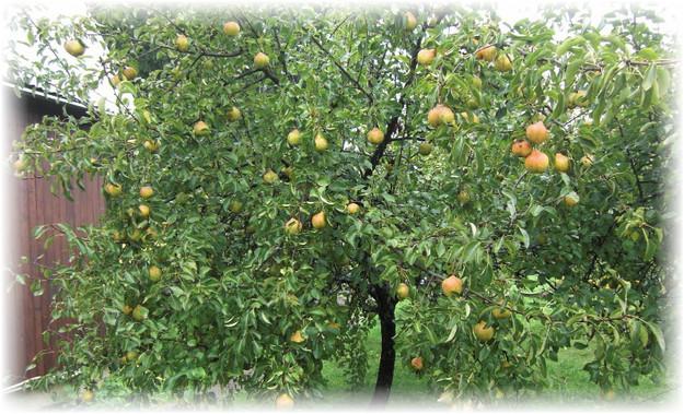 дерево груши осенняя яковлева