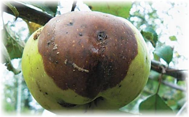 гнилое яблоко