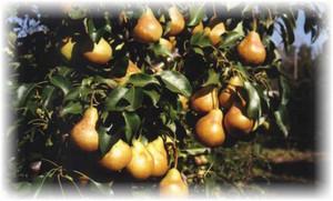 грушевые плоды н дереве