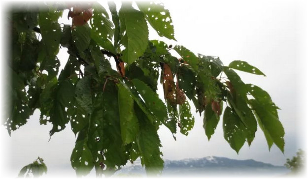 пораженные листья черешни