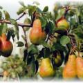 висячие груши на дереве