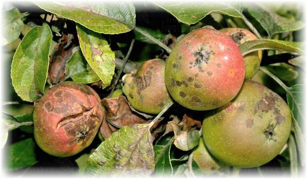 яблоки больные паршой