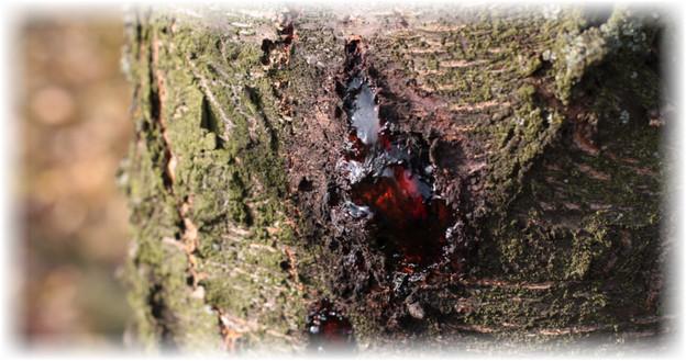 гомоз на стволе дерева