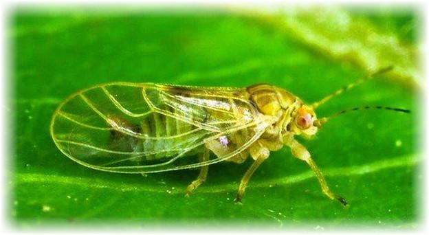 паразит бабочка медяница