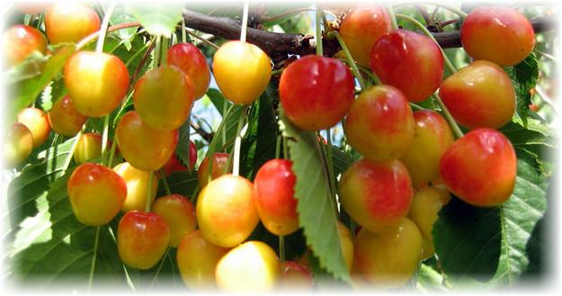приусадебная ягода