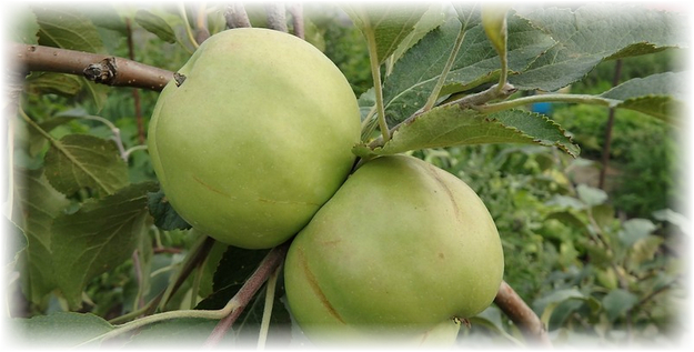 2 яблока сорта братчуд