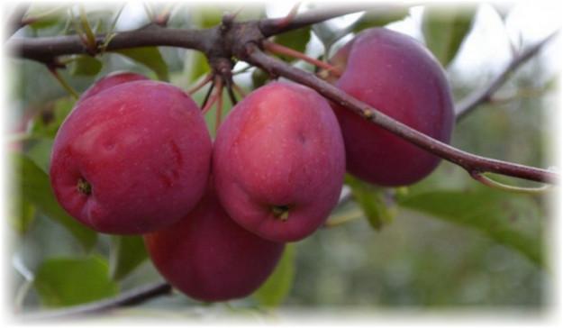 4 яблока керр