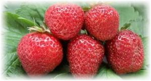 5 ягод клубники флоренс