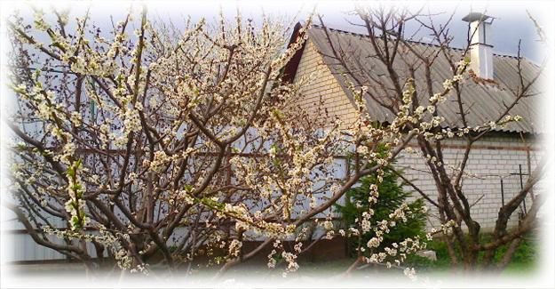 цветущие черешни