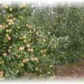 дерево карликовой яблони