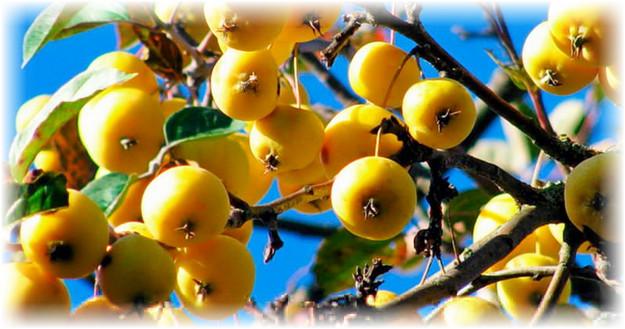 желтые яблоки на дереве