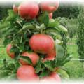 колоновидная яблоня с красными плодами