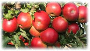 красные яблоки чемпион