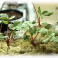 молодые ростки клубники
