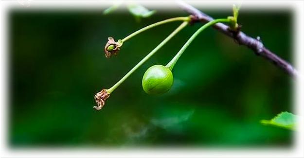 нецветущая вишня