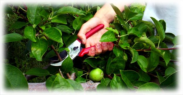обрезка веток у яблони