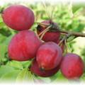 Яблоня колоновидная сорта