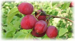 плоды китайской яблони