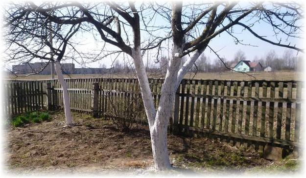 побеленное дерево в огороде
