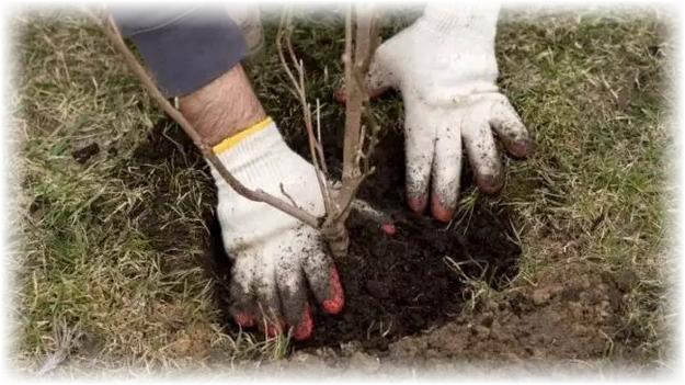 посадка карликовой яблони в землю