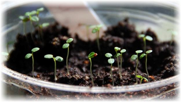 ростки клубники в грунте