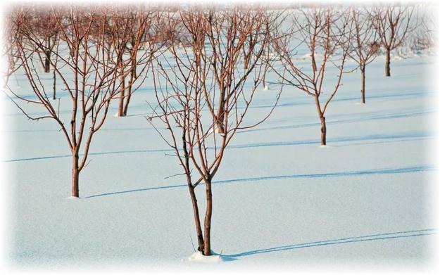 саженцы яблонь в снегу