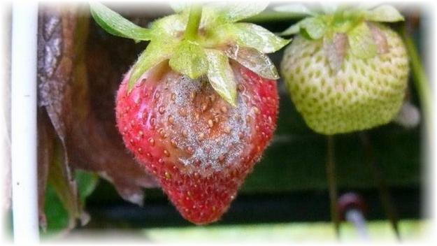 серая гниль ягоды клубники флоренс