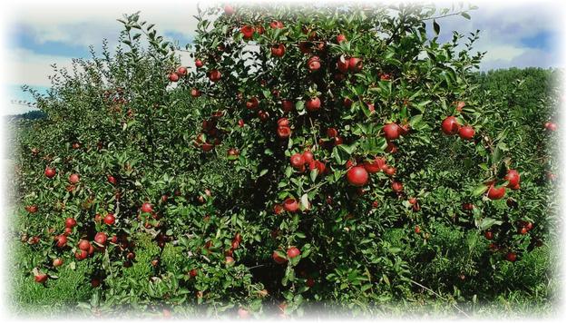 яблоня с красными плодами