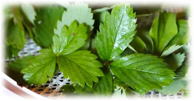 чистые листья клубники