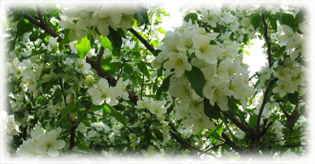 цветение яблони ягодная сибирячка