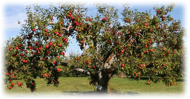 дерево яблони с большой кроной