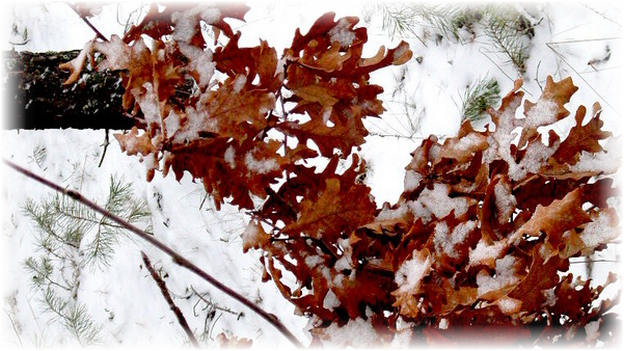дубовые листья зимой