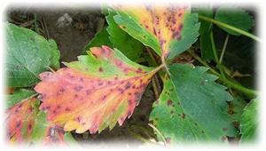красные листочки клубники