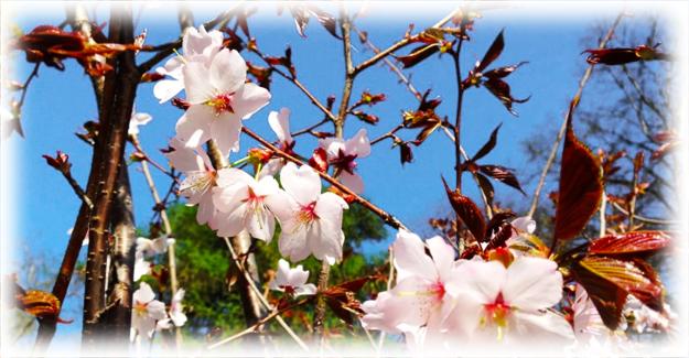 расцвет дерева весной