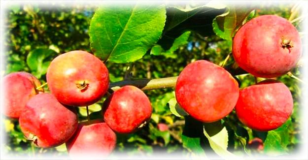 скрещенные яблоки