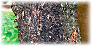 ствол вишневого дерева