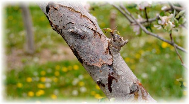 треснувшая молодая вишня