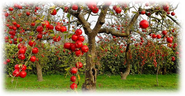 яблоня переплодоносила