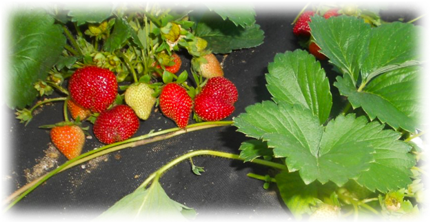 ягоды клубники особого сорта